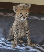 Another cheetah cub