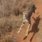 The Amazing Flying Cheetah